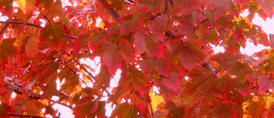 sunlight makes the color changing leaves glow