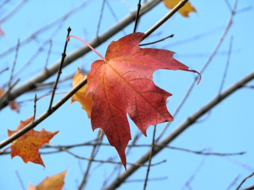 a perfect red maple leaf is one of the few left on the tree, against a pastel blue sky